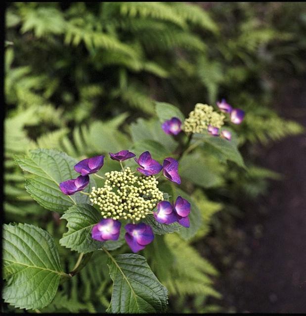紫陽花1s.jpg